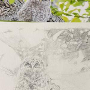 ライブ配信したフクロウの赤ちゃんの鉛筆画