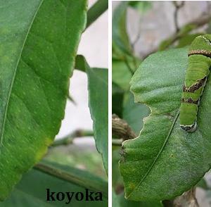へ~蛹で越冬するんや~(注意!!幼虫画像あり)