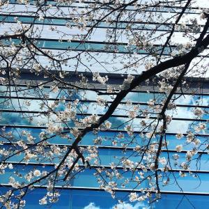 子連れで目黒川の桜