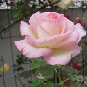 ★★★ プリンセスドモナコが咲いています