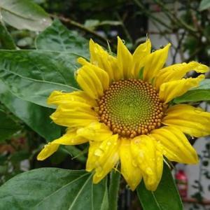 7/24 自宅の「はるかのひまわり」の二番花が開花しました