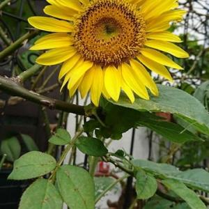 「はるかのひまわり」は、真夏の太陽