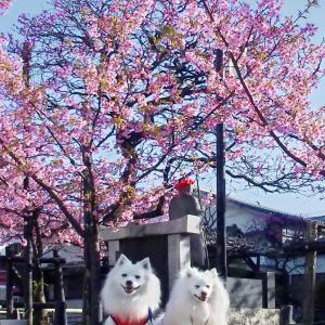お花見 河津桜🌸