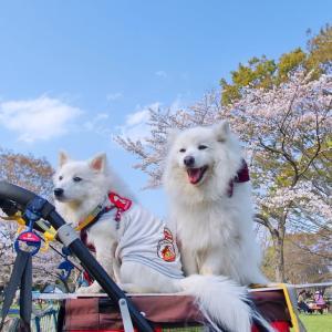 #春 #桜 今年は自粛なので以前の画像で春の桜
