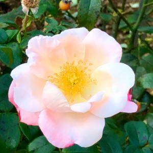 バラ園の薔薇と入浴にも使えるフラワーエッセンス