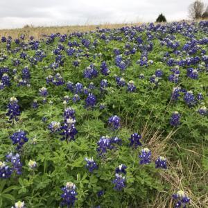 テキサス州花ブルーボネットを探す旅