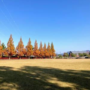 色づくメタセコイアの公園にお散歩