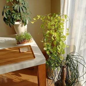 猫と観葉植物、ポトスやカポック