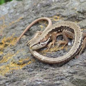 今日はカナヘビです。