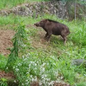 今度は猪を捕獲。
