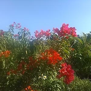 南の島に生きて ブロ友の桜満開 (南の島はブーゲンビリア満開)