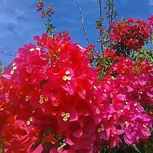 海見える庭 ブーゲンビリア満開 咲き誇る