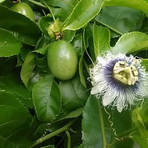 海の見える庭 南国フルーツ「パッションフルーツ」