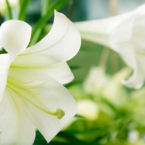 南の庭の景色  テッポウユリが庭にいっぱい咲きそう