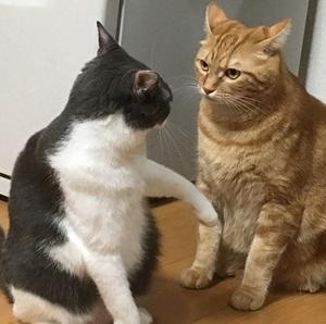 食前の猫の喧嘩。