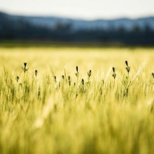 穀物が急騰…来週(2020/07/06~)以降も継続するのか要注意