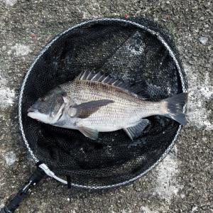 落とし込み釣り(目印)、南港は新波止でチヌは連発、そして太刀魚‼️