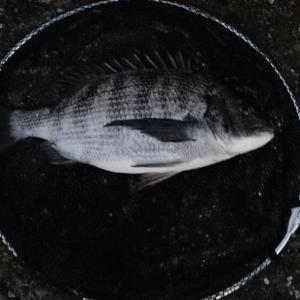 落とし込み釣り、目印でカニを餌に朝練