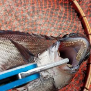 落とし込み釣り(目印)、餌が色々ありやっぱり安定はこれ!