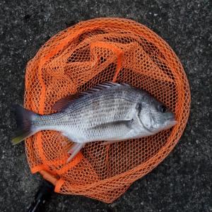 落とし込み釣り、アタリ連発で一時入れアタリも❗
