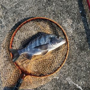 落とし込み釣り、今年初めての南港新波止。