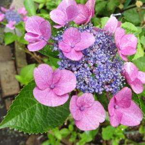 あじさい 紫陽花 咲きました