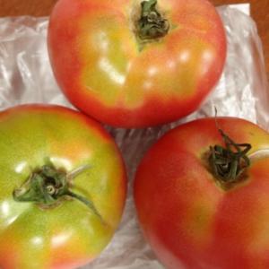 トマトの美味しい季節です