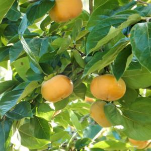 柿のおいしい季節になってきました