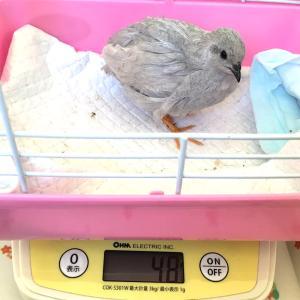 7羽の体重推移と産卵状況