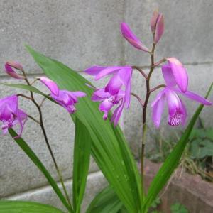 紫蘭の花達