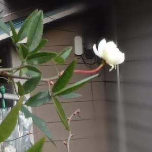 え? モッコウバラが咲いてる!