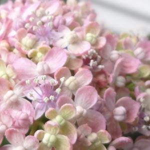 紫陽花に夢中