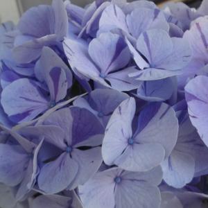 6月7日 遅咲な紫陽花