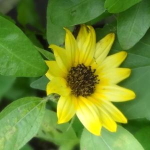 6月15日 小さなヒマワリが咲いた