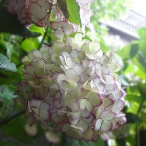 雨の日は紫陽花が綺麗