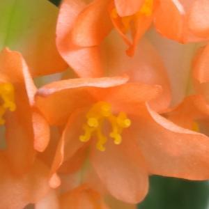 木立ベゴニア&山アジサイの2番花