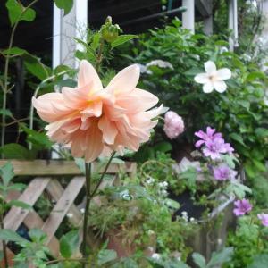 大好きなダリアが咲きました