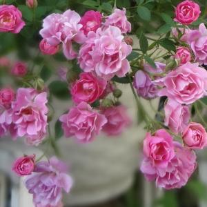 マルバシルベストリスブルーファウンテンと極小薔薇