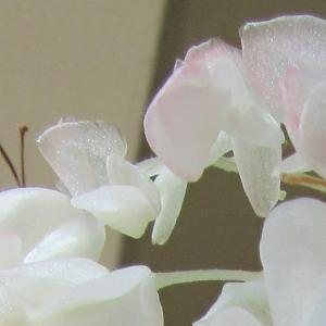 花びらが透き通ってキラキラしているベゴニア