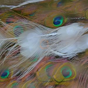 MGT0173 妖艶なる哉 孔雀の羽根 画像編集編 其の弐