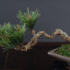 可愛い手のひらサイズの松盆栽