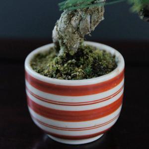 紅白ライン柄のお猪口鉢が可愛いミニ盆栽