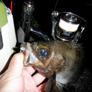 2夜連続釣行。そして良型メバル再び!