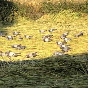今朝はドバトの大群でした
