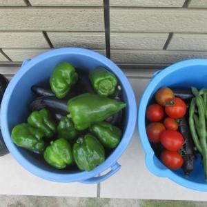 夏野菜がまだ取れていますが