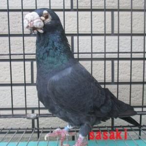 最古参の種鳩です