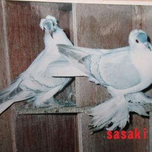 観賞鳩の種鳩バンク構想について