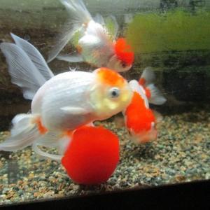 金魚は3密ですが・・・
