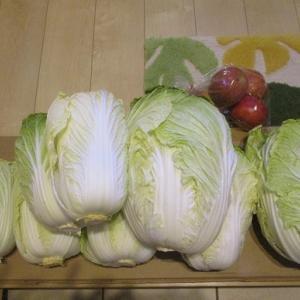冬野菜の収穫です