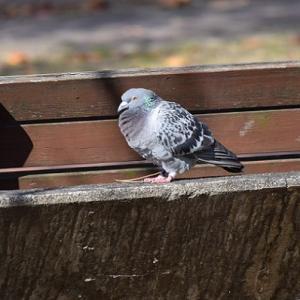 公園に迷い鳩が